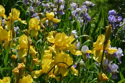 Iris. Perennial rhizomatous plant of the Iris family (Iridaceae). Beautiful floral abstract background of nature. Summer landscape. Useful. Luxurious yellow flower