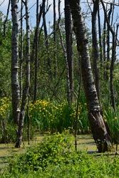 Iris pseudacorus, the yellow flag, yellow iris, or water flag growing in bog. Aquatic flowering plants.