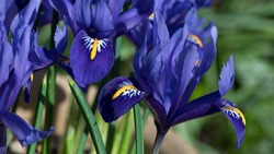 Iris Reticulata Harmony in flower in March, a blue flowered dwarf, bulbous iris with narrow and erect leaves, England, United Kingdom
