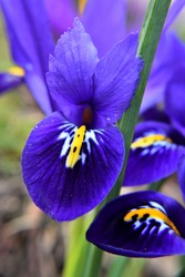 Iris reticulata Harmony, macro photography, deep blue petals with orange and white stripes and pollen dots are visible. Portrait view.
