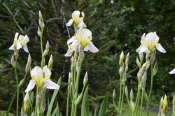 Irises are wonderful garden plants. The word Iris means rainbow. Irises come in many colors.