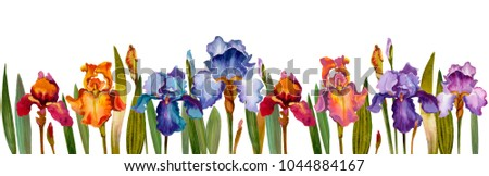 Irises red, purple, yellow and blue isolated on white.  Watercolor iris flowers on white.