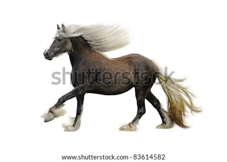 Stock Photo Irish cob horse galloping on a white background