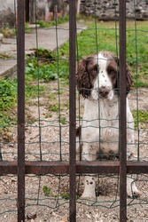 Irish red and white setter dog patiently waiting behind iron bars of fence with sad eyes