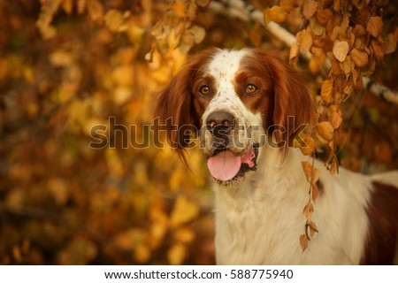 Irish Red And White Setter portrait in forest Outdoor in Autumn #588775940