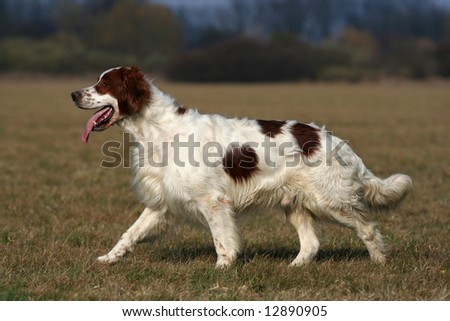 Irish red and white setter walking in the field