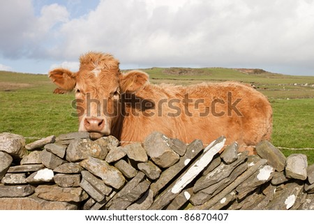 Irish red cow on meadow at the fence of stones.