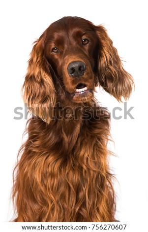 Irish Setter dog isolated on white background #756270607