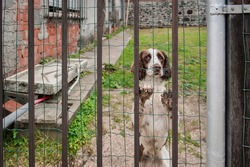 irish setter dog leaning up against bars of fence with dirty paws and pleading eyes, with a messy yard in the background