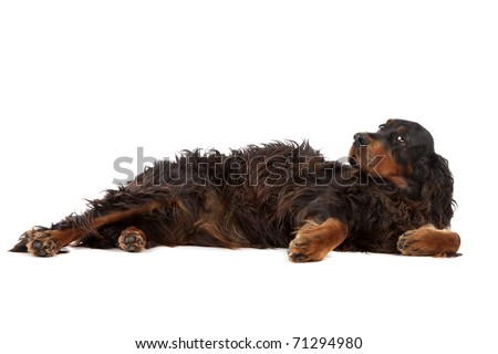 Irish setter dog lying on the ground, on a white background