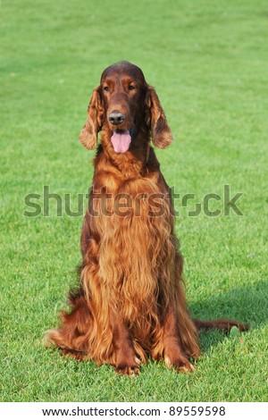 Irish setter dog portrait