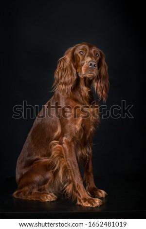 Irish setter dog studio portrait  Foto stock ©