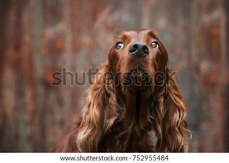 Irish Setter dog with brown background #752955484
