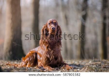 Irish setter hound dog in the winter forrest #587801582