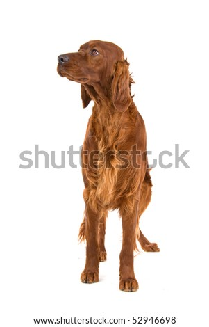 Irish Setter in front of a white background
