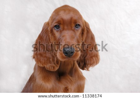 Irish Setter Puppies on Irish Setter Puppy Stock Photo 11338174   Shutterstock
