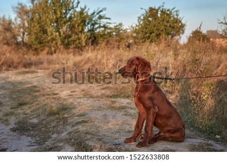 Irish Setter Puppy. Irish Setter Red. Dog with the owner walk in the field. #1522633808