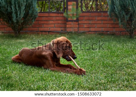 Irish setter puppy lies on the lawn grass. Irish setter red color. The dog guards the territory near the house. #1508633072
