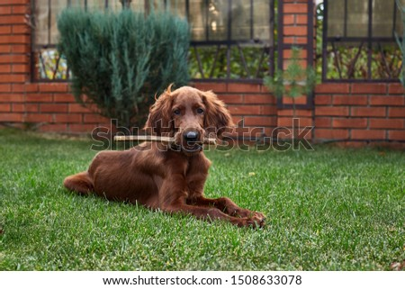 Irish setter puppy lies on the lawn grass. Irish setter red color. The dog guards the territory near the house. #1508633078
