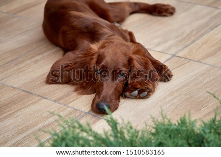 Irish setter puppy lies on the lawn grass. Irish setter red color. The dog guards the territory near the house. #1510583165