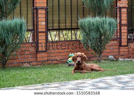Irish setter puppy lies on the lawn grass. Irish setter red color. The dog guards the territory near the house. #1510583168