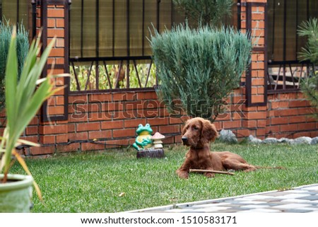 Irish setter puppy lies on the lawn grass. Irish setter red color. The dog guards the territory near the house. #1510583171