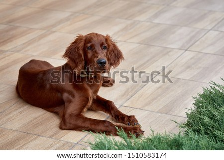Irish setter puppy lies on the lawn grass. Irish setter red color. The dog guards the territory near the house. #1510583174