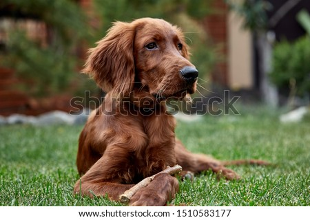 Irish setter puppy lies on the lawn grass. Irish setter red color. The dog guards the territory near the house. #1510583177