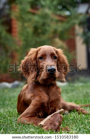 Irish setter puppy lies on the lawn grass. Irish setter red color. The dog guards the territory near the house. #1510583180