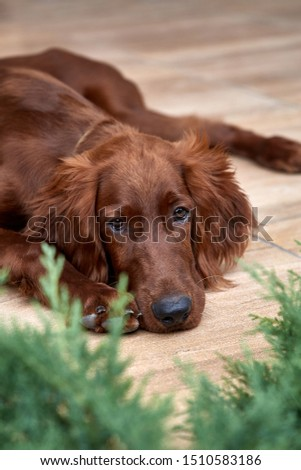 Irish setter puppy lies on the lawn grass. Irish setter red color. The dog guards the territory near the house. #1510583186