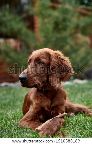 Irish setter puppy lies on the lawn grass. Irish setter red color. The dog guards the territory near the house. #1510583189