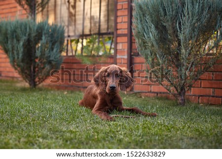 Irish setter puppy lies on the lawn grass. Irish setter red color. The dog guards the territory near the house. #1522633829