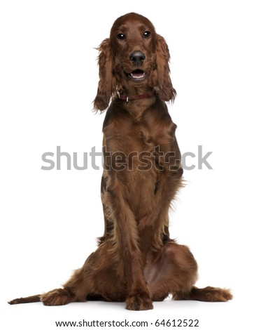 Irish Setter puppy, 5 months old, sitting in front of white background