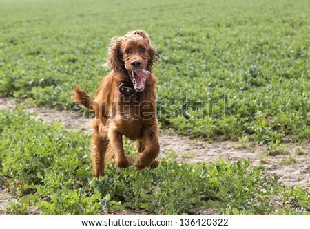 Irish setter runs on a grassland