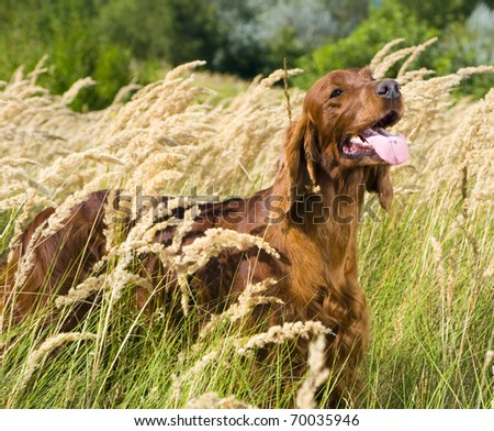 Irish Setter standing in high grass.