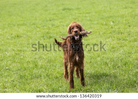 Irish setter with a piece of wood in his mouth looks to the trainer