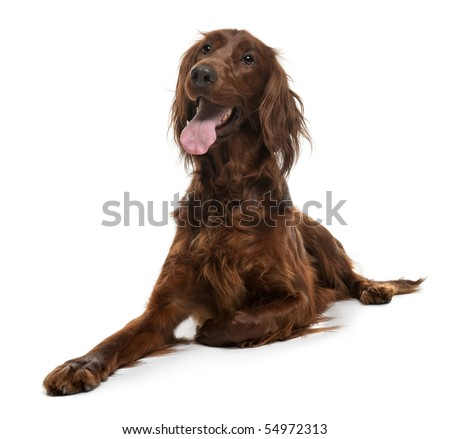 Irish Setter, 2 years old, lying in front of white background