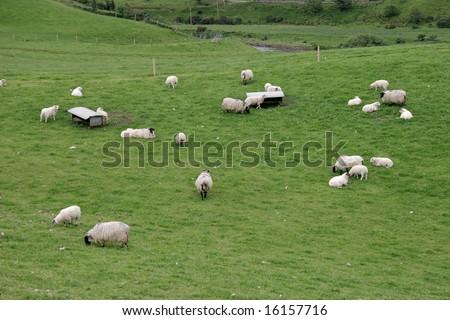 Irish sheep farm with sheep grazing on lush green pastures