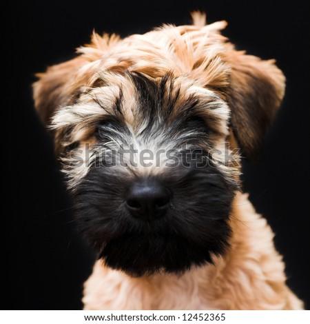 Black Wheaten Terrier Wheaten terrier on blackBlack Soft Coated Wheaten Terrier