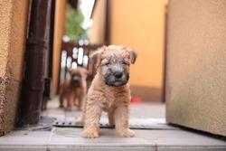 Irish soft coated wheaten terrier puppy