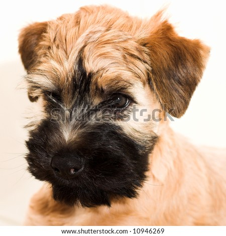Wheaten Terrier Puppies on Irish Soft Coated Wheaten Terrier Small Brown Puppy Stock Photo