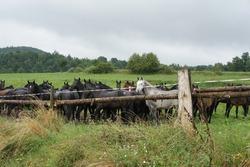 Irish sport horses standing on big green pastures in Ireland rural areas.
