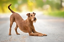 irish terrier dog bows down outdoors in summer