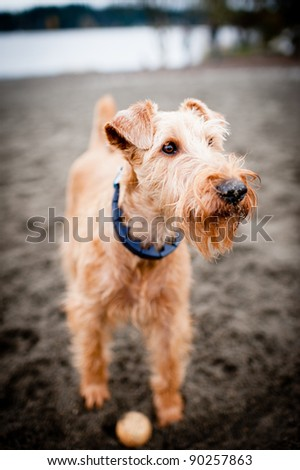 Irish Terrier Dog Plays Fetch at dog Park