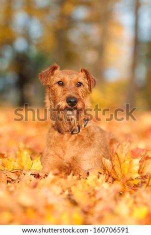 Irish terrier in autumn #160706591