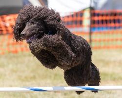Irish Water Spaniel dog doing agility