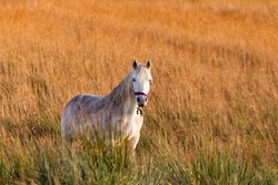 Irish white horse on the meadow
