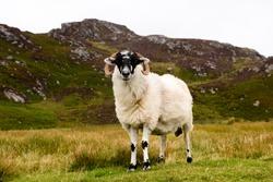 Irish white sheep near slieve league