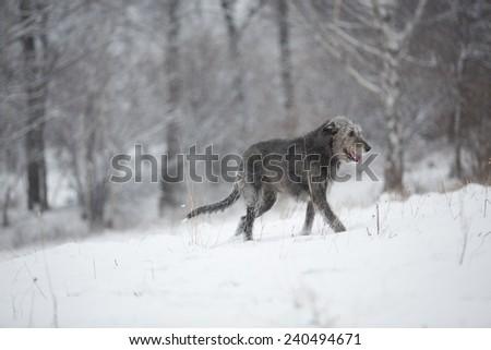 Irish Wolfhound dog posing and smiling at winter forest. Irish wolfhound dog walking at field. Irish wolfhound dog hunting at winter field during snow fall.