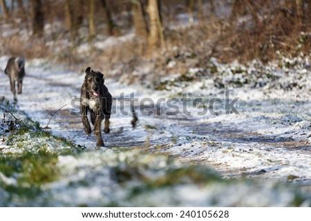 Irish Wolfhound dogs running at winter forest. Irish wolfhound dogs running in field. Two irish wolfhound dogs in winter field.